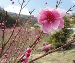 花桃の郷2