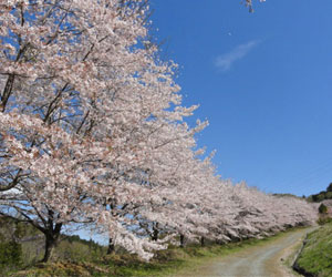 虎山の千本桜1