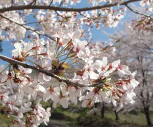 虎山の千本桜2
