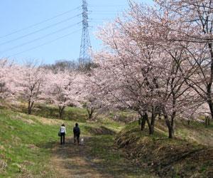 虎山の千本桜3